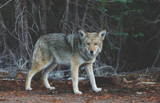 nature-animal-fur-wolf