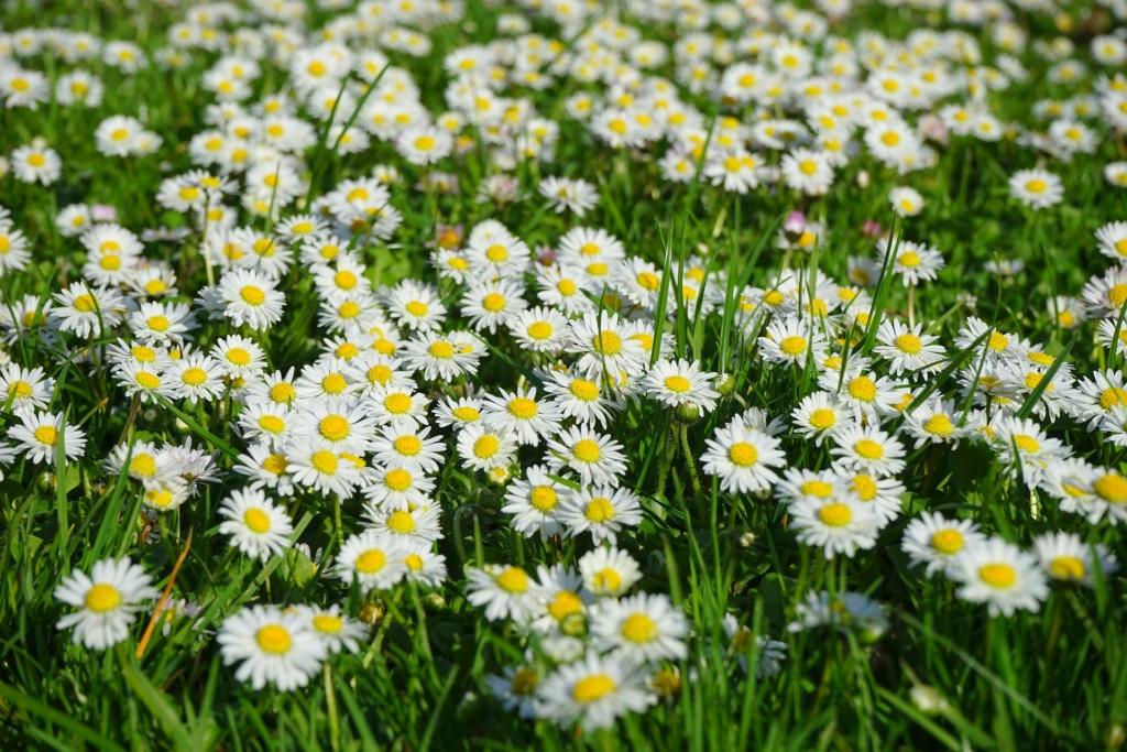 Kwiaty stokrotki. Chwasty wkuchni.